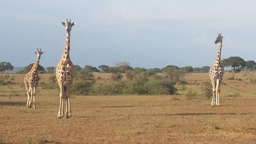 Giraffes in Murchison Falls National Park in Uganda