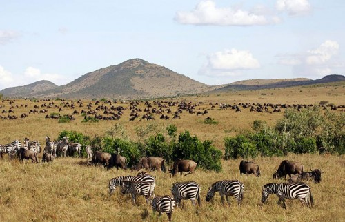 wildebeest and Zebras in from East Africa