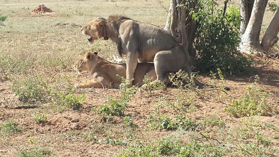 Lions in the Kidepo Valley National Part in North Eastern Uganda
