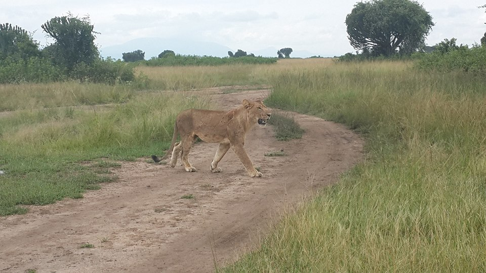 A lioness crossing a road in Queen Elizabeth National Park in Uganda