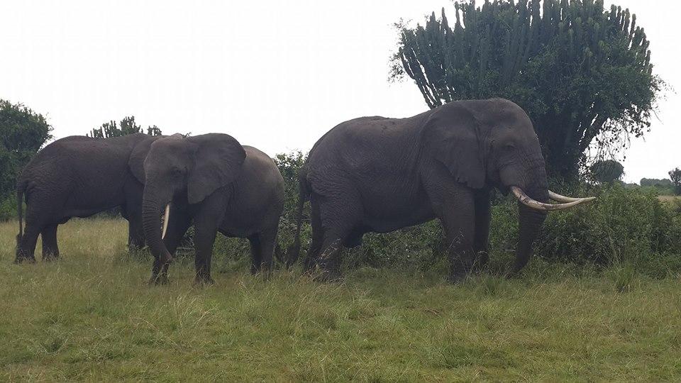 Elephants in Queen Elizabeth National Park in Western Uganda