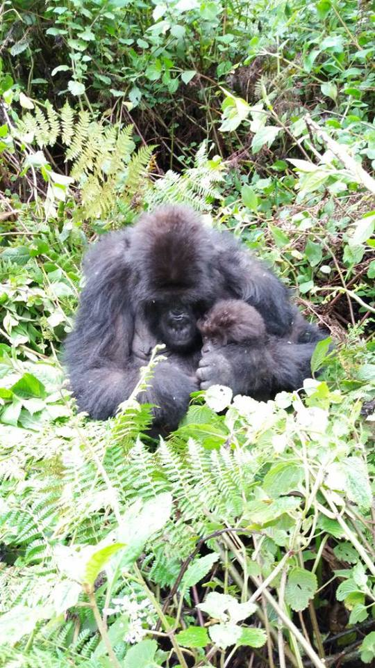 A gorilla and it's baby